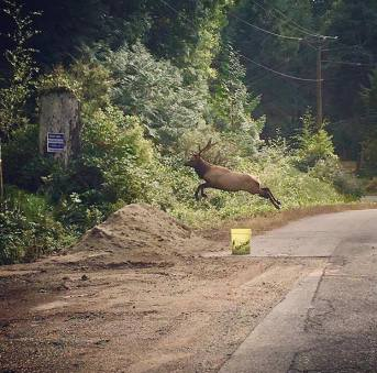 Flying elk on the road