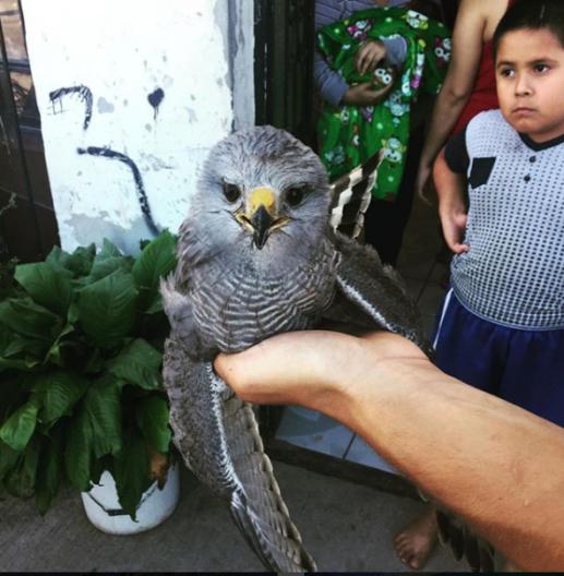 33 Rescuing a falcon